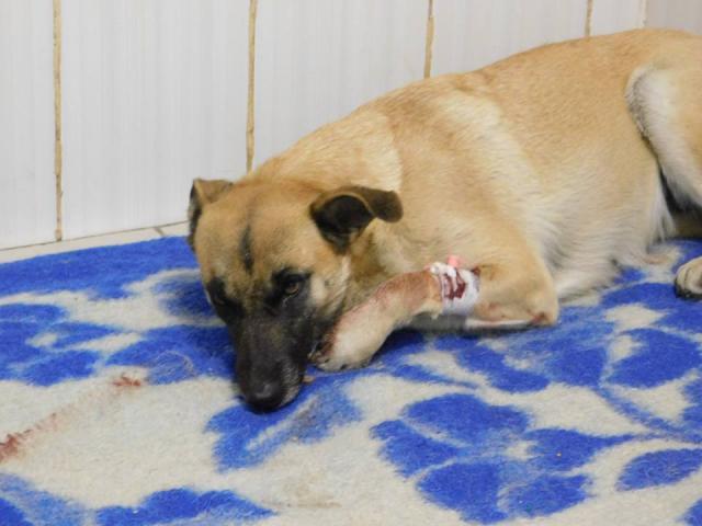 Бездомная собака в тяжелом состоянии пришла за помощью к людям