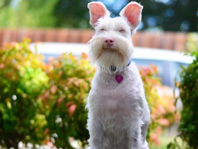 История Шерлока: жизненный путь пса с необычной внешностью