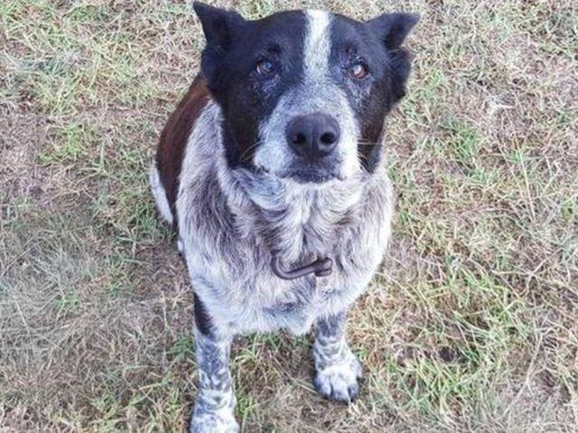 В Австралии старый пес помог спасти потерявшуюся девочку