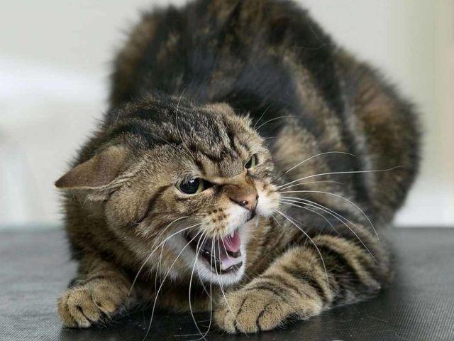 Во Фрунзенском районе диагностировано бешенство у домашней кошки