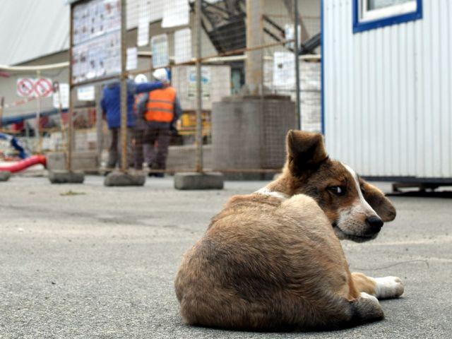 Американский фонд поможет бездомным собакам на территории Чернобыльской зоны отчуждения